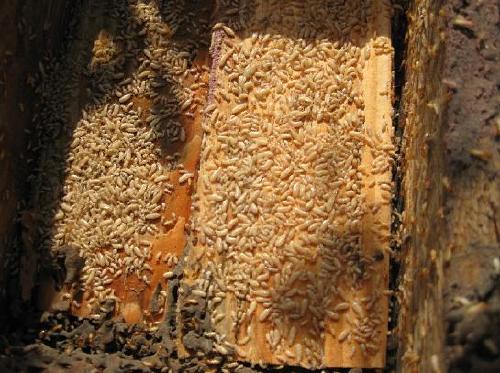 白蚁的危害如何,谁知道图片