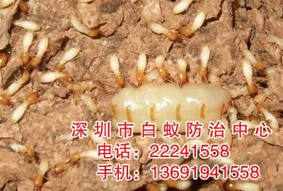 白蚁危害的扩散迁移主要通过分飞传播 蔓延和侵入等方式 -深圳白图片